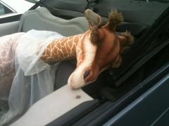 Ovid the Orphaned Giraffe  on his way to his new home,