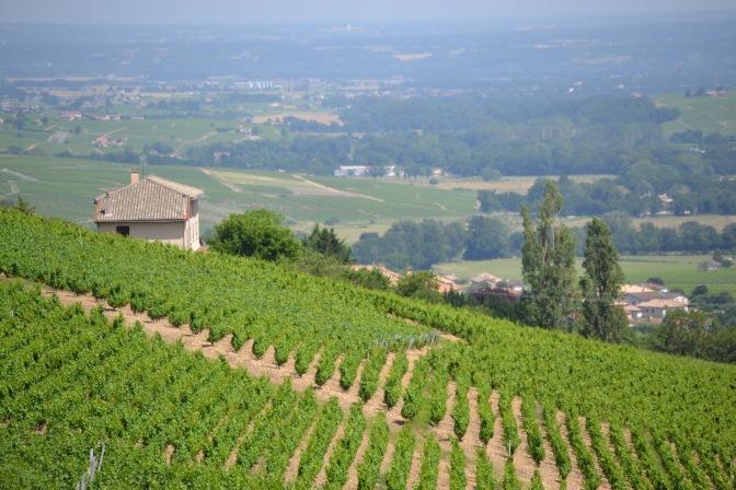 Beautiful vines, beautiful country